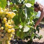 trigiro-unique-travel-greece_grapes