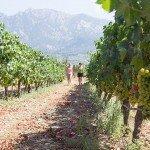 trigiro-unique-travel-greece_vineyards
