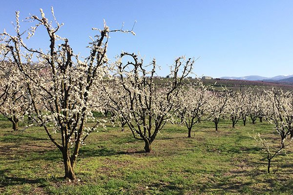trigiro_tours_flora_trees_cherries_field_Naoussa_Greece