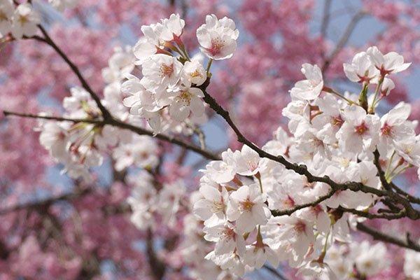 trigiro_tours_flora_trees_cherries_flower_Naoussa_Greece
