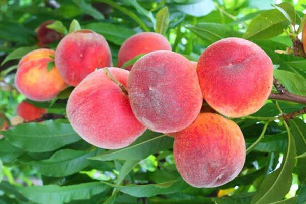 trigiro_tours_flora_trees_peaches_Naoussa_Greece