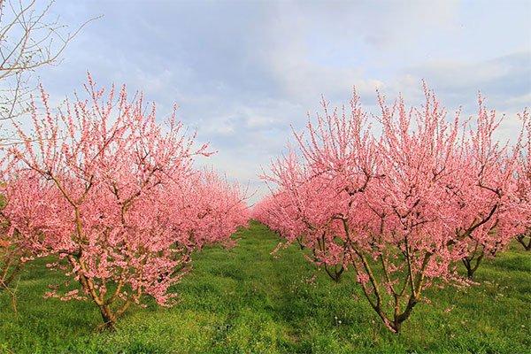trigiro_tours_flora_trees_peaches_flower_Naoussa_Greece