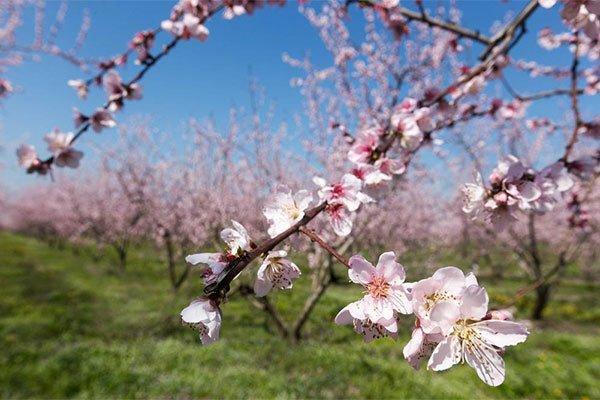 trigiro_tours_flora_trees_peaches_flower_leaf_Naoussa_Greece