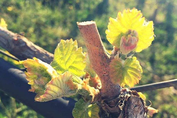 trigiro_tours_flora_trees_vineyards_flower_Naoussa_Greece