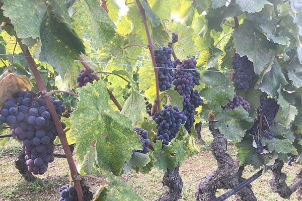 trigiro_tours_flora_trees_vineyards_grapes_Naoussa_Greece