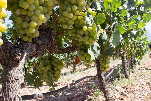 trigiro_tours_greece_wine-food-pairing_white-wine