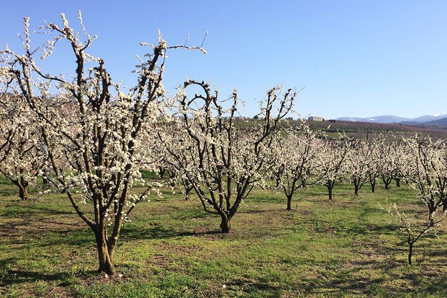 trigiro_tours_reason_visit_naoussa_north-greece_nature_cherry-trees
