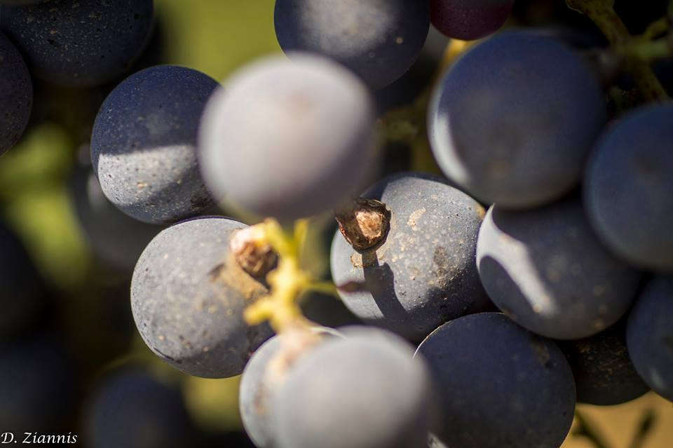 trigiro_wine_grape