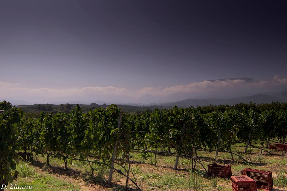 trigiro_wine_grape_field_naoussa