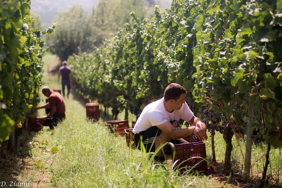 trigiro_wine_grape_naoussa_harvest