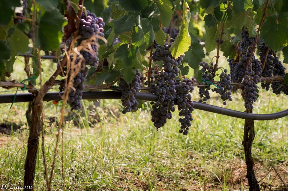 trigiro_wine_grape_naoussa_xinomavro